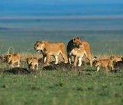 Fund Launched to Protect Lions, Restore Habitats